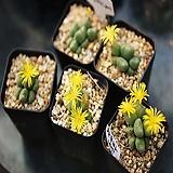 차우바니에 다육식물 리톱스|Lithops