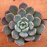 핑크프리티 24 Echeveria Pretty in  Pink