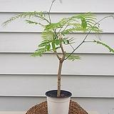 [수입품종]Acacia pennata(아카시아 펜나타)|