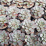 원종롱기시마(소)|Echeveria longissima