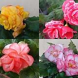 (세트할인)일루미네이션베고니아|Begonia