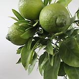 레몬나무|