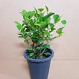 [SW]프랑스고무나무(M)2019 새상품/공기정화식물|Ficus elastica