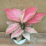 [진아플라워] 분홍분홍 깔고운 지리홍 아글레오네마 125|