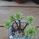 그린로즈 묵은둥이(화분포함)|Sedeveria Green Rose
