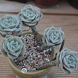 러블리로즈 묵은둥이(두몸 화분포함)|Lovely Rose