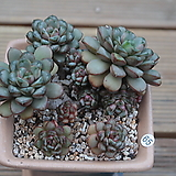 홍포도 묵은한몸|Graptoveria Ametum