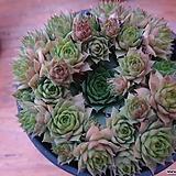 Sempervivum hawouthii바위솔-67