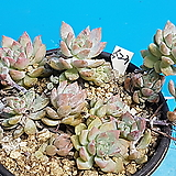 523리틀장미|Echeveria prolifica