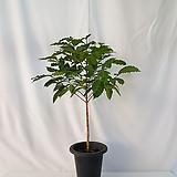 커피나무 입니다 (포트 제외 식물 높이만 75센치 내외)