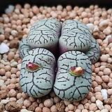 C.minimum scitulum 청희 (시터룸) (분채배송) 