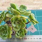 릴리패드 46 Aeonium LilyPad