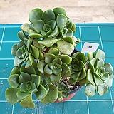 릴리패드 48 Aeonium LilyPad