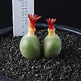 3984-C.maughanii x stephanii 마우가니 스테파니 교배종|Conophytum maughanii