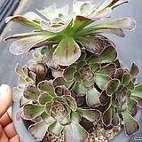 Aeonium달마법사|