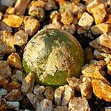 부르게리 Conophytum burgeri