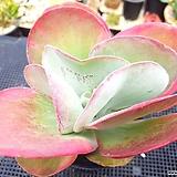 당인금 Kalanchoe thysifolia
