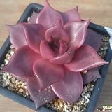 환엽레드에보니|Echeveria agavoides ebony red