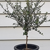 [단품특가]올리브나무(목대튼튼 짱짱한 아이~)|