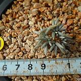 891 알스토니(적화)|Avonia quinaria ssp Alstonii