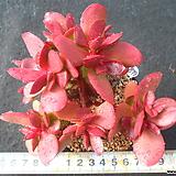 899 멕시코크라바타|Pachyveria clavata