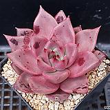 레드에보니330|Echeveria agavoides ebony red