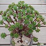 소인제  분포|Aeonium  sedifolius