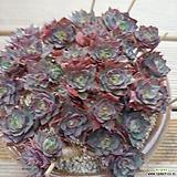 양진 대품 목대|Echeveria yangjin