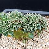 롱기시마철화|Echeveria longissima