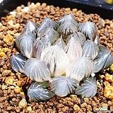 블랙자옵투샤 금 1014|Haworthia var. obtusa(purple)