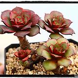 롱기시마벨바라 군생(적심)|Echeveria longissima