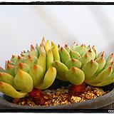 데로사 군생(자연,목대,묵은둥이)|Echeveria cv Derosa