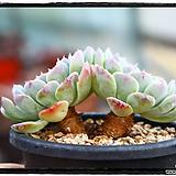 화이트턱시판군생(자연,묵은둥이)|Echeveria tuxpan