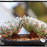 화이트턱시판 군생(자연,묵은둥이)|Echeveria tuxpan