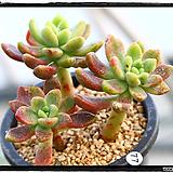 페러독스군생(자연)|Pachyveria cv. Paradoxa