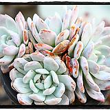 먼로 대품군생(자연,목대)|Echeveria Monroe