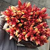 화재(완전묵은둥이)합식|Crassula Americana cv.Flame