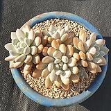 후레뉴묵은둥이6두자연군생|Pachyphtum cv Frevel
