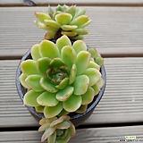 라즈아가  묵둥이|Echeveria agavoides sp