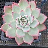 원종콜로라타27|Echeveria colorata