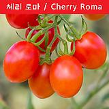 체리 로마 Cherry Roma 달콤한 토마토 희귀토마토 교육 체험용
