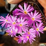 이쁜 꽃다발 미누텀 1015|conophytum minutum