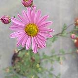 신품종 분홍구절초|