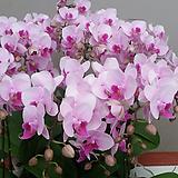 .레이.꽃만개.(예쁜粉色색).색감예쁨.고급종.상태굿.착한가격.