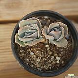 러블리로즈 1016-18[합식]|Lovely Rose