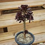 흑법사 1016-57|Aeonium arboreum var. atropurpureum