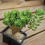팔천대철화 1016-74|Sedum corynephyllum