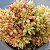 깨알사치철화|Agavoides f.cristata Echeveria