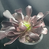 블랙캐시미어 Aeonium Velour