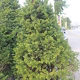 주목나무|